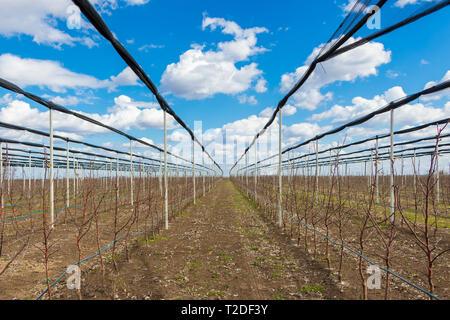 Apple orchard in early spring near Novi Sad, Serbia - Stock Photo