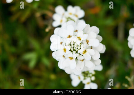 A closeup of the white flowers on evergreen candytuft, Iberis sempervirens, growing in a garden in Orem, Utah, USA, in the spring. - Stock Photo