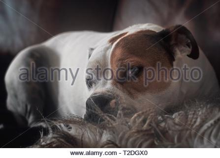 lovely brown and white bulldog mixed dog lying on a leather sofa with fluffy pillow under his chin staring straight at viewer - Stock Photo