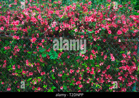 Azalea bushes, New Orleans, Louisiana. - Stock Photo