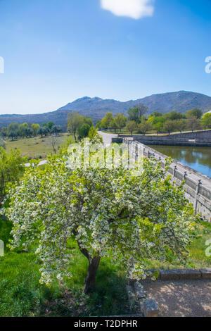 Flowered tree. Garden, Royal Monastery, San Lorenzo del Escorial, Madrid province, Spain. - Stock Photo