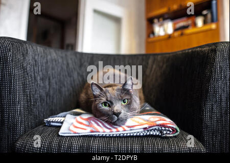 A cute grey cat with green eyes lies on a modern arm chair while looking into the camera. - Stock Photo