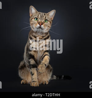Cute and excellent brown tabby American Shorthair cat sitting facing front. Looking straight in camera with green yellow eyes. One paw up like shaking