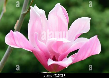 magnolia, Magnolie, liliomfa, Magnolia 'Spectrum' - Stock Photo