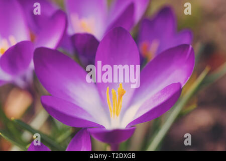 one of the first spring flowers in spring garden, beautiful Crocus Iridaceae, the Iris Family - Stock Photo