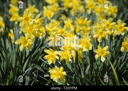 Narcissus buds are revealed completely. Blooming buds of daffodils in a flower bed. - Stock Photo