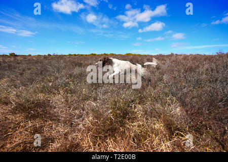 An English Springer Spaniel runs and springs across heathland playing and hunting for birds. Springer spaniels have a huge drive to chase birds. - Stock Photo
