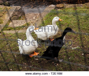 Large white and black heavy duck behind bars in loch lomond - Stock Photo