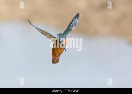 Kingfisher in flight (Alcedo atthis) - Stock Photo
