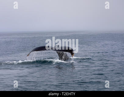 Humpback Whale (Megaptera novaeangliae) showing its tail while diving in Icy Strait, Inside Passage, Alaska - Stock Photo