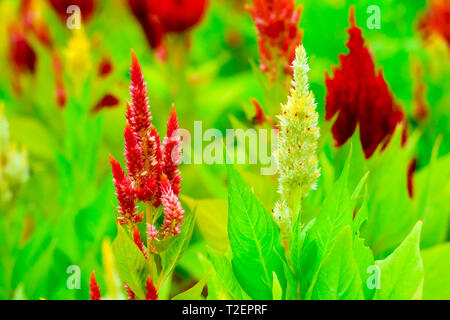 Celosia flower bouquet is bloom in the garden during the summer - Stock Photo