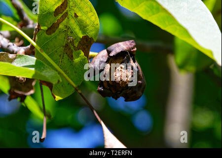 A walnut nearly ready to fall from the tree, showing it's split outer casing - Stock Photo