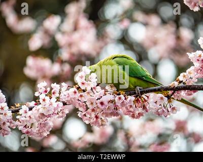 A rose ringed parakeet, psittacula krameri, eats Japanese cherry blossoms, or sakura, in a cherry tree in Izumi no Mori (Izumi Forest Park). - Stock Photo