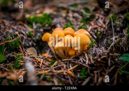 Conifer tufts (Hypholoma capnoides) at the forest floor, Mount Rainier National Park, Washington, USA - Stock Photo