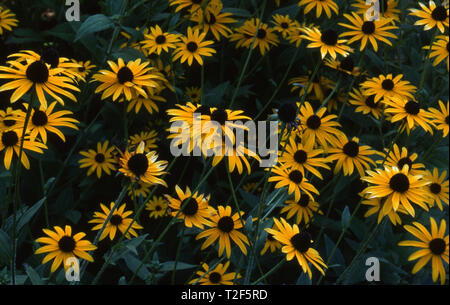 ORANGE CONEFLOWERS (RUDBECKIA FULGIDA) ALSO KNOWN AS PERENNIAL CONEFLOWERS. - Stock Photo
