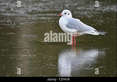 Side view of a Black-Headed Gull (Chroicocephalus ridibundus) standing on ice on a lake in Winter in West Sussex, UK. - Stock Photo