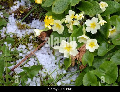 Aberystwyth, Wales. 2nd Apr 2019. UK Weather - 2-April-2019 - April showers: Primroses and celandines flower despite the heavy haiil in a lane near Aberystwyth, Wales, UK - John Gilbey/Alamy Live News - Stock Photo
