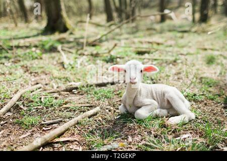 Cute lamb lying on grass in the forrest on bio farm during spring easter time. - Stock Photo