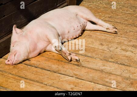 Small pig sleeping on wooden boards in shed on bio piggery farm during sunny day. - Stock Photo