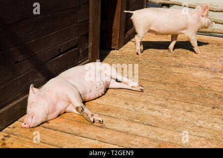 Small pig sleeping on wooden boards in shed on bio piggery farm during sunny day, second pig in background - Stock Photo
