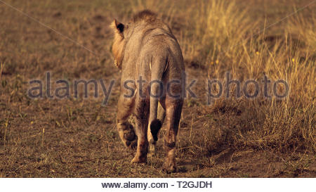 and then he walks away Lion King on a Wildlife photography safari tour in Queen Elizabeth National Park Uganda - Stock Photo