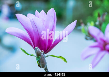 The magnificent flowers of a Magnolia liliiflora. - Stock Photo