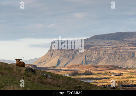 A Highland cow (aka Highland Coo) lying down in a green field with mountain scenery in the background, Isle of Mull, Hebrides, Scotland, UK - Stock Photo