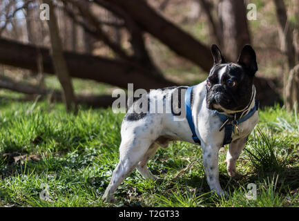 A french bulldog going on a hike - Stock Photo