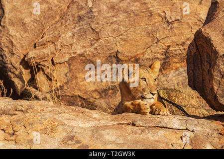 Lioness lion, panthera leo, hidden camouflaged on rocks, head face claws eyes. Samburu National Reserve, Kenya, Africa. Copy space search for prey - Stock Photo