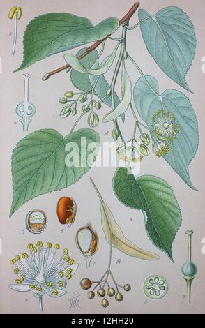Common Lime (Tilia x europaea), naturally occurring hybrid, historical illustration from 1885, Germany - Stock Photo