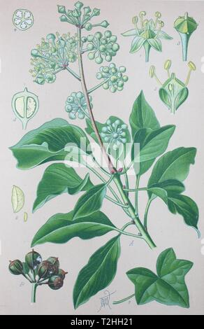Common ivy (Hedera helix), historical illustration from 1885, Germany - Stock Photo