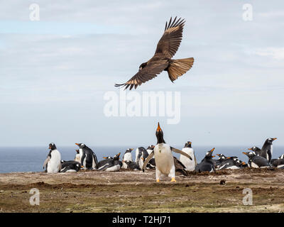 An adult striated caracara, Phalcoboenus australis, harassing a gentoo penguin, New Island, Falkland Islands, South Atlantic Ocean - Stock Photo