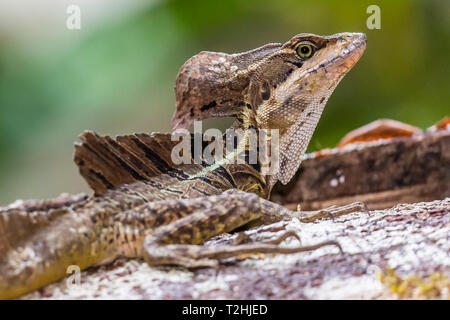 An adult male common basilisk, Basiliscus basiliscus, in Corcovado National Park, Osa Peninsula, Costa Rica, Central America - Stock Photo