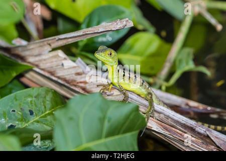 A juvenile plumed basilisk, Basiliscus plumifrons, Cano Chiquerra, Tortuguero National Park, Costa Rica, Central America - Stock Photo