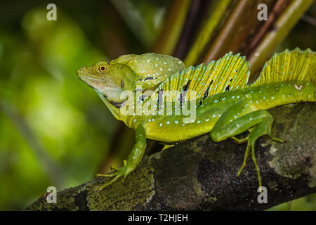 An adult male plumed basilisk, Basiliscus plumifrons, Cano Chiquerra, Tortuguero National Park, Costa Rica, Central America - Stock Photo