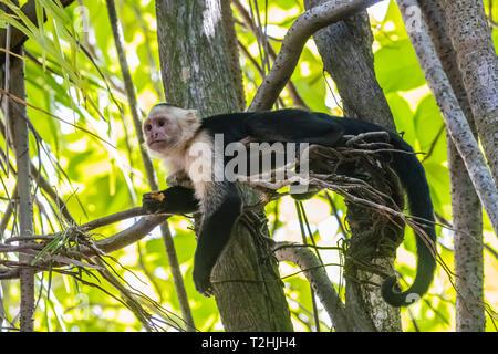 A Panamanian white-faced capuchin, Cebus imitator, in Manuel Antonio National Park, Costa Rica, Central America