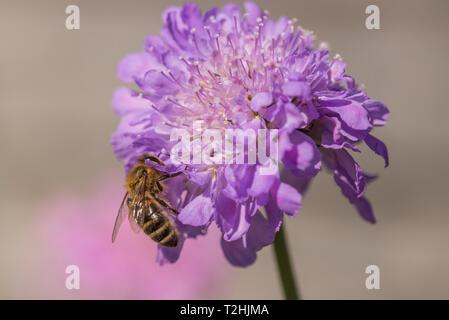 Honey bee on Scabious flower - Stock Photo