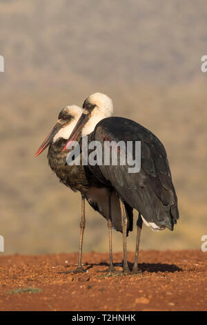 Woolly necked stork, Ciconia episcopus,  Zimanga private game reserve, KwaZulu-Natal, South Africa - Stock Photo