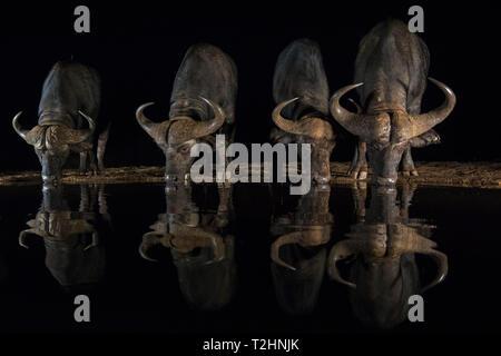 Cape buffalo, Syncerus caffer, drinking at night, Zimanga private game reserve, KwaZulu-Natal, South Africa - Stock Photo