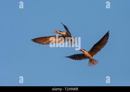 African skimmers, Rynchops flavirostris, courtship display, Chobe river, Botswana, Southern Africa, - Stock Photo