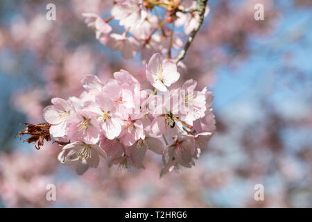 Close up of Prunus Sargentii cherry tree blossom flowering in the UK during spring, England, UK - Stock Photo