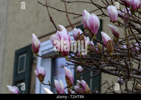 Beautiful flowering, blooming tree - beautiful blossomed magnolia branch in spring - magnolia flower - Stock Photo