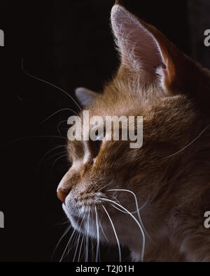 Orange Cat with long whiskers - Stock Photo