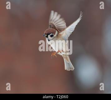 Tree sparrow in fast flight at winter - Stock Photo