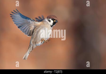 Tree sparrow in flight at bright sunny winter day - Stock Photo