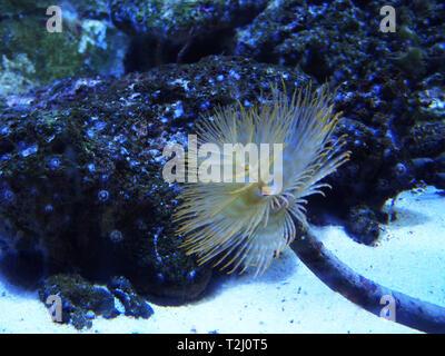 spiral tubeworm - Stock Photo