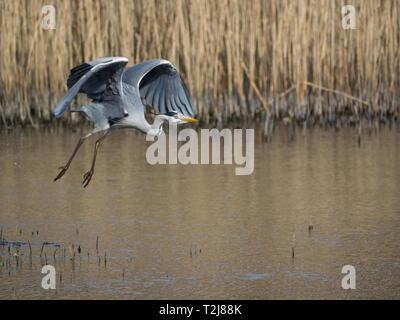 Grey Heron, Welsh Wildlife Centre, Wales - Stock Photo