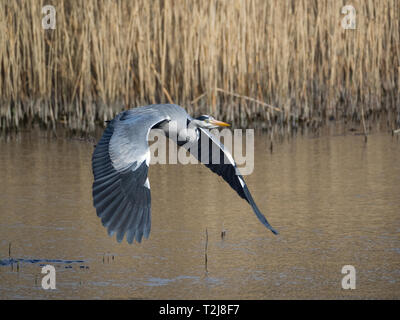 Grey Heron, Welsh Wildlife Centre, Wales - Stock Photo