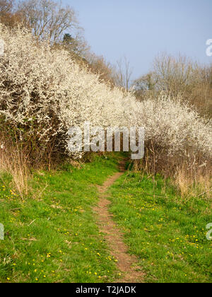 White blossom of the sloe, Prunus spinosa, covers the shrub in mid April to provide the frost like decoration of 'Blackthorn Winter' - Stock Photo
