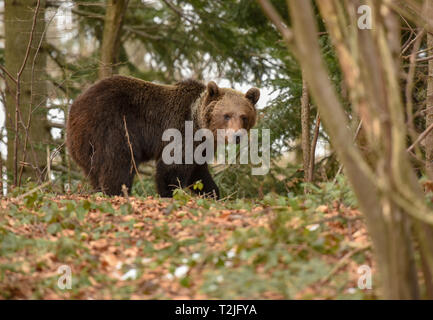 Dangerous meeting with massive huge brown bear in the forest. Close up big bear in spring woodland - Stock Photo